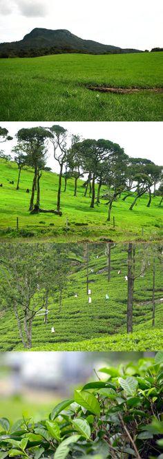 Green Hills, Nuwara Eliya, Sri Lanka #SriLanka #NuwaraEliya