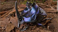Newly discovered Big Dung Beetle in Suriname.