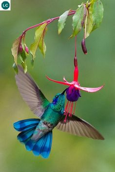 https://www.facebook.com/WonderBirds-171150349611448/ Chim ruồi lục tai tím; Họ Chim Ruồi-Trochilidae/Hummingbird; Trung Mỹ và bắc Nam Mỹ || Green violetear (Colibri thalassinus); IUCN Red List of Threatened Species 3.1 : Least Concern (LC)(Loài ít quan tâm).