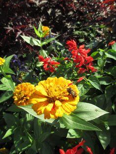 Bee on a bright flower in Longfellow Gardens