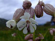 Alpenblume Gewöhnliches Leimkraut (Silene vulgaris), Nelkengewächs