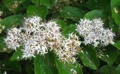 Silky Dogwood Flower