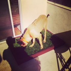 Large Dog Grass pad filled with real dog potty grass. This big guys is shocked to see natural grass on his balcony. Big Dogs, Large Dogs, Cute Dogs, Dogs And Puppies, Indoor Dog Potty, Dog Litter Box, Dog Pee, Real Dog, Training Your Dog