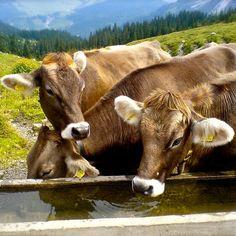 Kühe in den Alpen - cows in the Alps