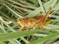 Giant grasshoppers at Disney's Animal Kingdom.