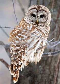 20 Nocturnal Birds That Burn the Midnight Oil (Owls, Nightjars … and Parrots? Owl Photos, Owl Pictures, Woodlice, Australian Parrots, Nocturnal Birds, Long Eared Owl, Barred Owl, Dawn And Dusk, Brown Bird