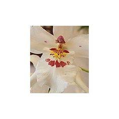 Esencia Orquídea Angel de la Guarda