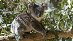 Koala's zijn met uitsterven bedreigd