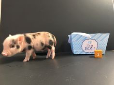 Did you know that pigs are smarter and cleaner than dogs? And mini pigs stay small enough to live inside your house!