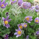 Pasque flower  Pulsatilla vulgaris  Light:SunPlant Height:4-12 inches tall, depending on varietyZones:4-7Plant Type:Perennial  One of the earliest spring bloomers, the purple or lavender blooms of pasque flowers were once used to dye Easter eggs, and that...read more >  Plant with : Basket-of-gold, Rock cress, Phlox