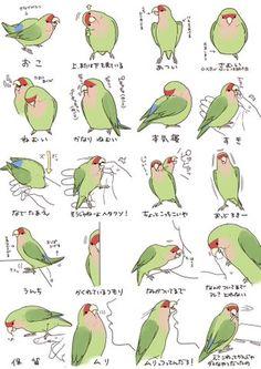 Papagayos Agapornis