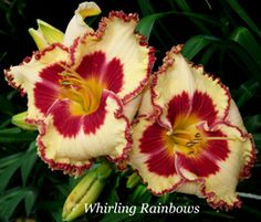 It's daylily torture - there are none of these beauties anything like this in NZ.  Daylily, Hemerocallis 'Whirling Rainbows' (Niswonger, 2012)