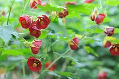 Abutilon Flowering or Parlor Maple Overview