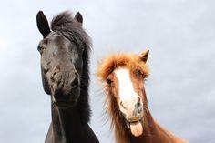 Icelandic horses in Geysir Haukadal Iceland-Taken by Ásgerður Inga Stefánsdóttir.