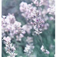 Lavandula angustifolia 'Alba'