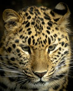 Adore this shot of the amur leopard at Marwell zoo. Looks amazing on canvas Marwell Zoo, Amur Leopard, Leopards, Canvas, Picnic, Animals, Amazing, Birthday, Photos