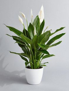 Peace Lily Air Purifying Plant - Easy Care Houseplant, Housewarming, Birthday Present, Gift for Her, Wedding Favor, Dorm Decor, Spring Best Indoor Plants, Cool Plants, Buy Plants, Indoor Plants Low Light, Indoor Herbs, Indoor Gardening, Container Gardening, Indoor Outdoor, Jade Plants
