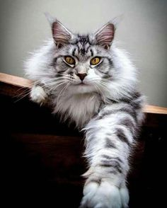 When it comes to Maine Coon Vs Norwegian Forest Cat both can make good pets but have some traits and characteristics that are different from each other Beautiful Cat Breeds, Beautiful Cats, Animals Beautiful, Cute Animals, Animals Images, Baby Animals, Funny Animals, Kittens Cutest, Cats And Kittens