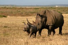 Mom and baby rhino, Garden Route Game Lodge, South Africa