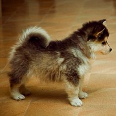 Pomsky....perfect to start out. it's a miniature big dog!!