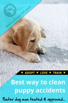 The best chance you have to get dog pee smell out of carpet is to follow these 3 easy steps, even if the urine is set in and dry... #dogs #dogheatlh #puppy #housecleaning #rescuedogs101 Dog Rescue Shelters, Rescue Puppies, Dog Pee Smell, Puppy Potty Training Tips, Animal Rescue Stories, Dog Urine, Foster Dog, Dogs 101, Dogs And Kids
