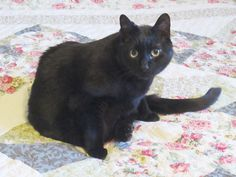 """From Mary: """"Newton, our eldest, who just turned 15. We adopted him from the local shelter when he was 4 months old. He is very funny. He loves to have his head kissed and his ears rubbed. He is hyperthyroid (well-controlled by medication) and has moderate kidney disease (managed with diet), but he still acts like a kitten. We love our elder statesman, Newton."""" In April, we are celebrating elder cats. www.catfaeries.com - Products for good behavior & health for the modern housecat."""