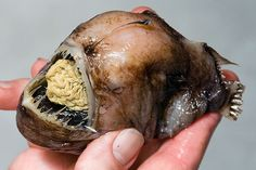 Disgusting & Ugly ... The Deep Sea Anglerfish (stomach in its mouth).  The deep sea anglerfish is one of the most bizarre-looking fish in the sea. It is one of about 200 species of anglerfish found throughout the world's oceans. The angler gets its name from the elongated dorsal spine that supports a light-producing organ known as a photophore. Through a chemical process known as bioluminescence, this photophore can produce a blue-green light similar to that of a firefly on land to lure prey...