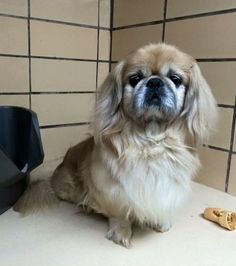 Miko is a 5 year old sweet and soft natured #Pekingese. He is a lover not a fighter that's for sure! He has excellent house manners, walks well on a leash and loves to snuggle! He gets along great with other #dogs and is happy to share a bed if necessary. http://www.doggielife.com/miko/dogs/WA2AUB