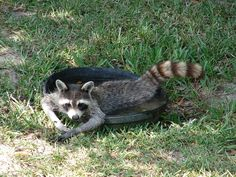 Lazy-Funny-Human-like-Nature-Cute-Raccoon-Water-1571625.jpg (960×720)