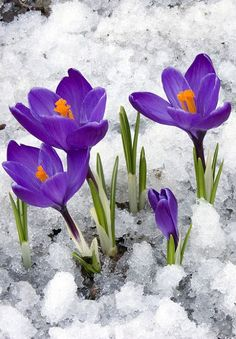 Send winter flowers to your special ones and make their winter season joyful. Free online Joy To My Heart ecards on Winter Flowers Day Winter Flowers, Purple Flowers, Spring Flowers, Crocus Bulbs, Comment Planter, Spring Sign, Early Spring, Spring 2014, Winter Garden