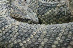 Rattle snake - Selvatura Park Monteverde, Costa Rica