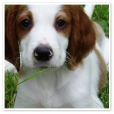 I think I just found a new favorite dog... Irish Red and White Setter :)