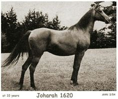 Joharah (*Mirage x Rihani, by *Saoud)