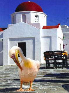 GREECE CHANNEL | Pink #pelican of #Mykonos, #Greece http://www.greece-channel.com/