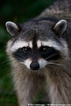 Raccoon in Stanley Park Vancouver British Columbia Canada.