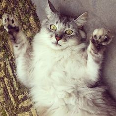 look at my soft furry belly! I dare you to rub it! #cat #belly #soft