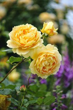 Golden Celebration (Ausgold): A David Austin rose. Rosas David Austin, David Austin Rosen, David Austin Climbing Roses, Beautiful Roses, Beautiful Gardens, Beautiful Flowers, Exotic Flowers, Golden Celebration Rose, Ronsard Rose