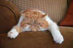 Presenting Garfield the Animals, pets, grumpy, exotic shorthair Cute Kittens, Cats And Kittens, Pretty Cats, Beautiful Cats, Animals Beautiful, Funny Cats, Funny Animals, Cute Animals, Crazy Cat Lady