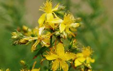 Saint John's wort, also called hyperycum, is the name of a group of about 300 species of herbs and shrubs with large yellow flowers.-John's-worts grow in the temperate…Read MoreSaint John's wort Genital Herpes, Saint John, Healing Herbs, Medicinal Herbs, Natural Medicine, Herbal Medicine, St Johns Wort Plant, Natural Treatments, Medicinal Plants