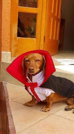 dachshund costume idea for vampire lovers: Count Dach-ula. Costume Halloween, Dachshund Halloween Costumes, Dachshund Costume, Best Dog Costumes, Dachshund Funny, Dachshund Love, Pet Costumes, Funny Dogs, Daschund
