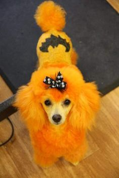 * This photo is not from OPAWZ, this image was pinned for sharing purpose only!* Good for Halloween I guess! Dog Grooming Styles, Poodle Grooming, Cat Grooming, Dog Hair Dye, Dog Dye, I Love Dogs, Cute Dogs, Fun Dog, Extreme Pets