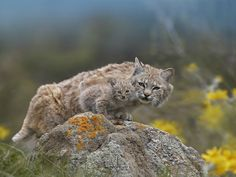 A bobcat and its bobkitten. http://ift.tt/2goruvJ