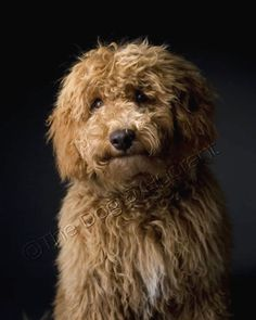the Dog & Hydrant Vancouver Dog Photography and Boutique - Cavapoo