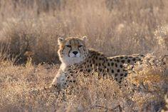 Asiatic Cheetah, Eurasian Lynx, Cheetah Cubs, Cute Cat Wallpaper, Animal Species, Cheetahs, Crocodiles, Leopards, Big Cats