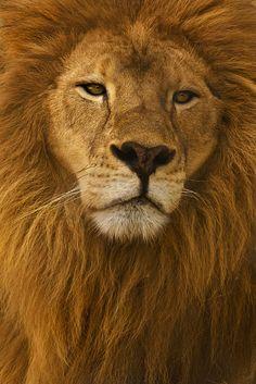 ~~The King ~ majestic lion portrait by Kendra-Paige~~
