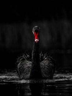 The Black Swan                                                                                                                                                                                 Más