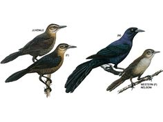 common grackle - juvenile, female, male and western
