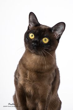 Great Black Elisabeth Honey Best Burmese kitten 2012-13 TICA GL region 7th best Burmese Kitten in TICA 2012-13