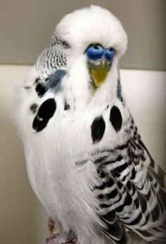 rare+budgie | Budgerigars in all the main colours plus Dominant Pieds, Spangles ...