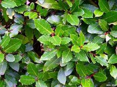 Image result for bay leaf plant